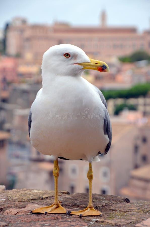 Romański forum Seagull fotografia stock