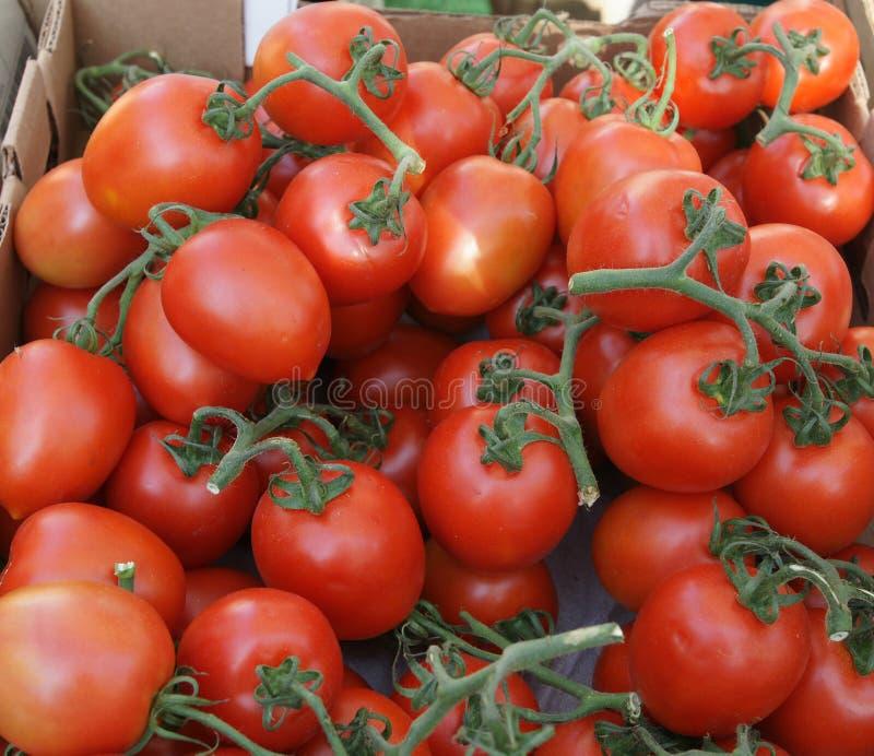Roma pomidor, Włoski śliwkowy pomidor, Solanum lycopersicum obrazy stock