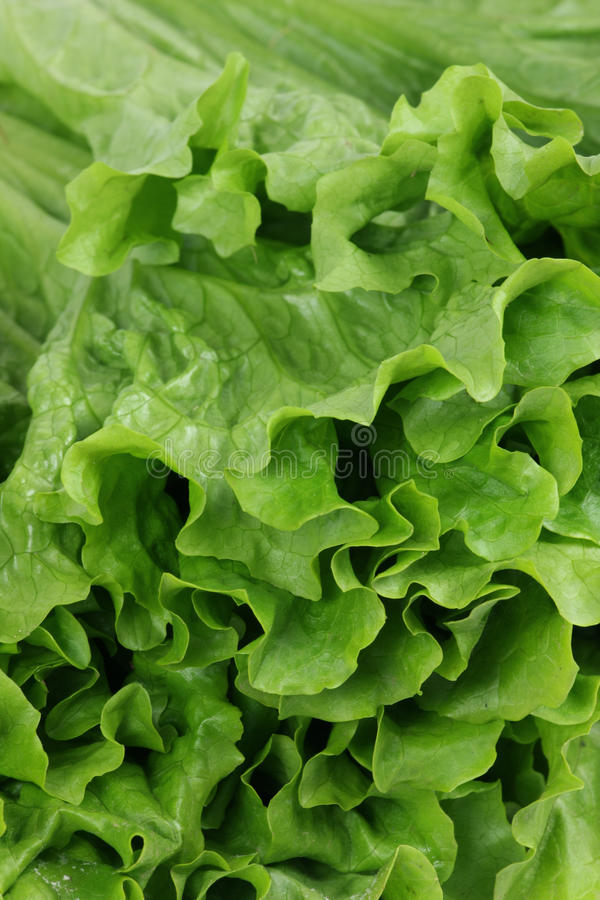 A romaine lettuce. Close up of a romaine lettuce royalty free stock images