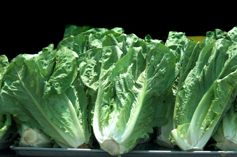 Romaine Lettuce. Many heads of Romaine Lettuce on a tray royalty free stock image