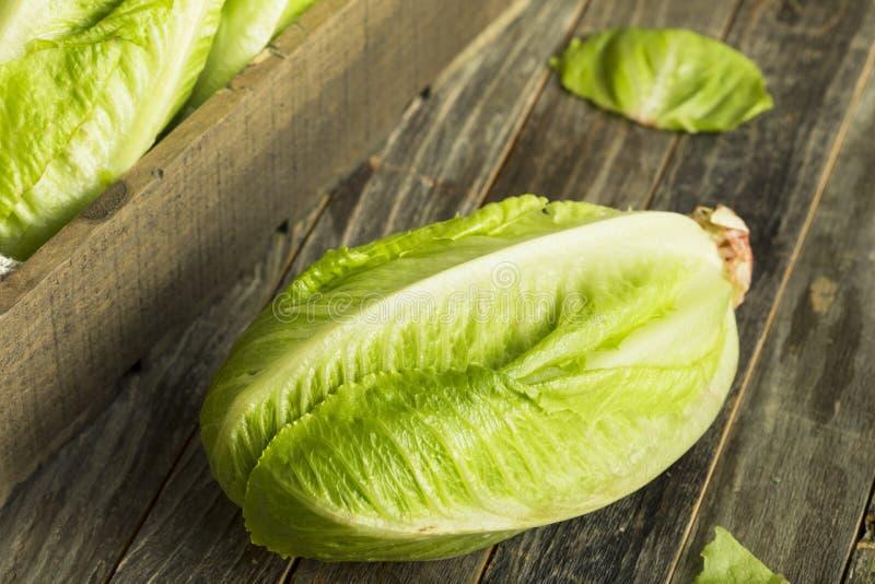 Romaine Lettuce orgânica verde crua foto de stock royalty free