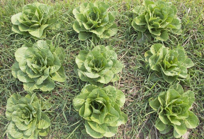 Romaine lettuce. Pattern in vegetable garden stock images