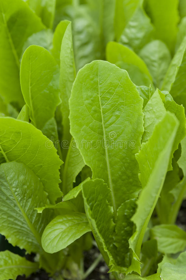 Romaine Lettuce. Photo of romaine lettuce growing in a raised bed garden royalty free stock photography