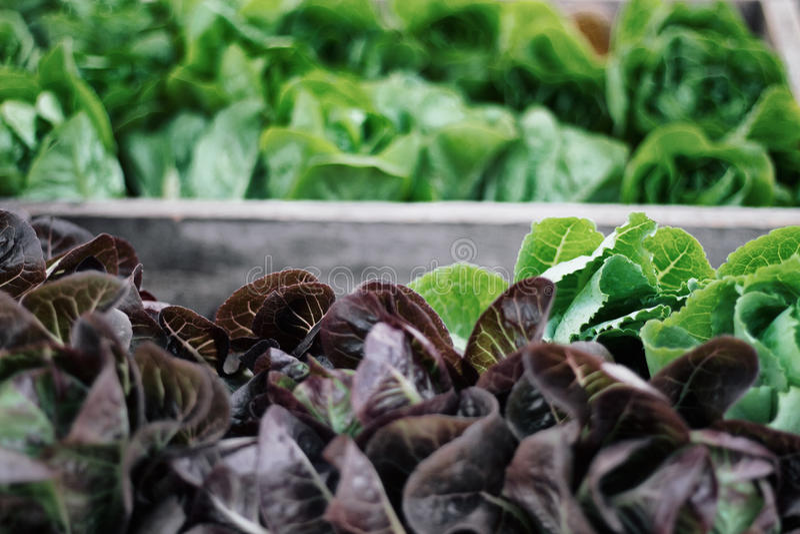 Romaine Salad Leaves royaltyfria bilder