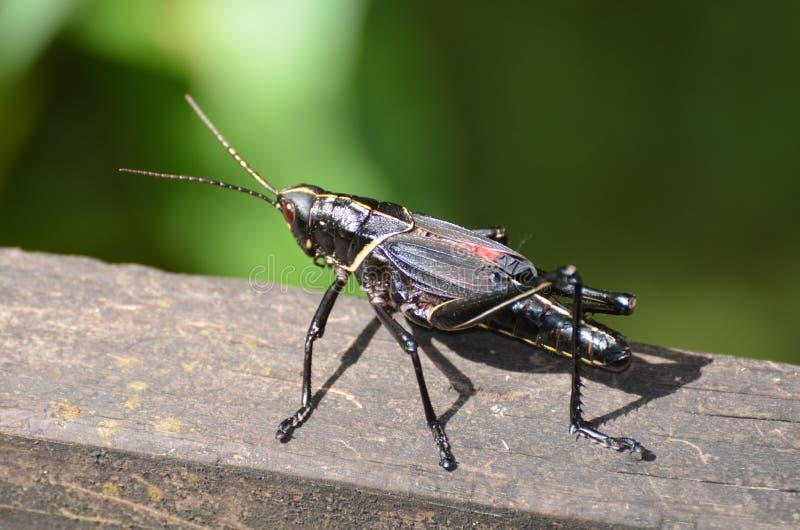 Romalea microptera Romalea microptera在Barataria prerveserve沼泽的黑色蚂蚱在新奥尔良 免版税图库摄影