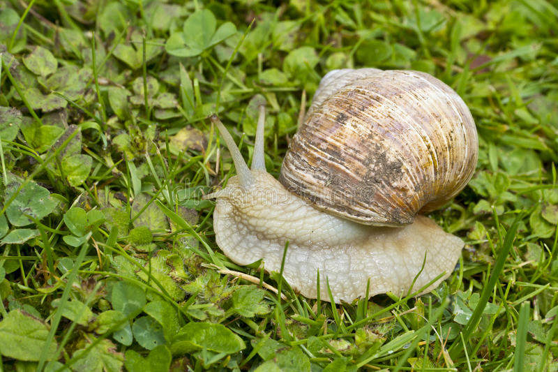 Roman, Burgundian or Edible Snail (Helix pomatia). Or escargot a large edible European snail. It is a terrestrial pulmonate gastropod mollusk stock images