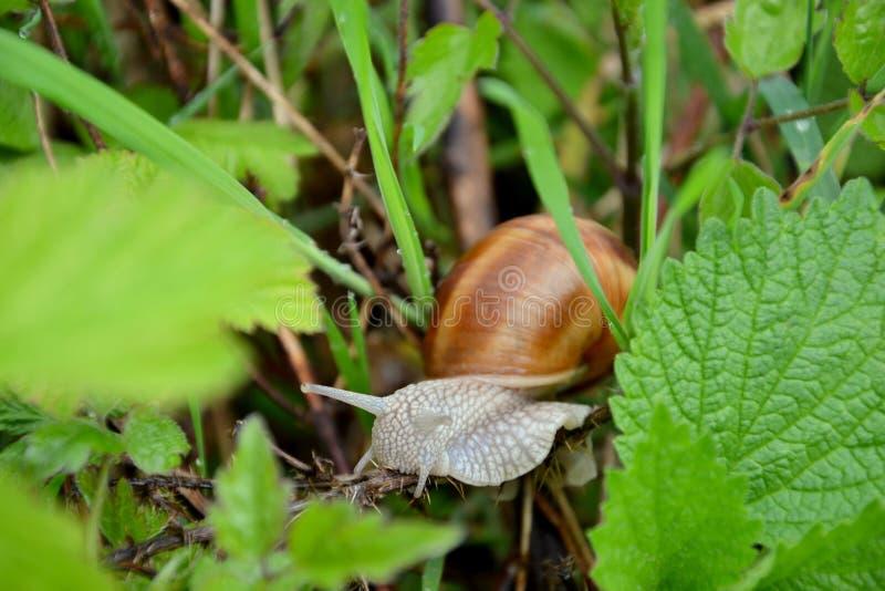 Helix pomatia. Roman or Edible Snail Helix pomatia royalty free stock photography