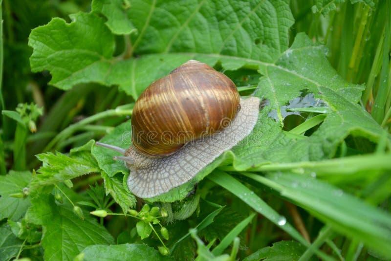 Helix pomatia. Roman or Edible Snail Helix pomatia royalty free stock images