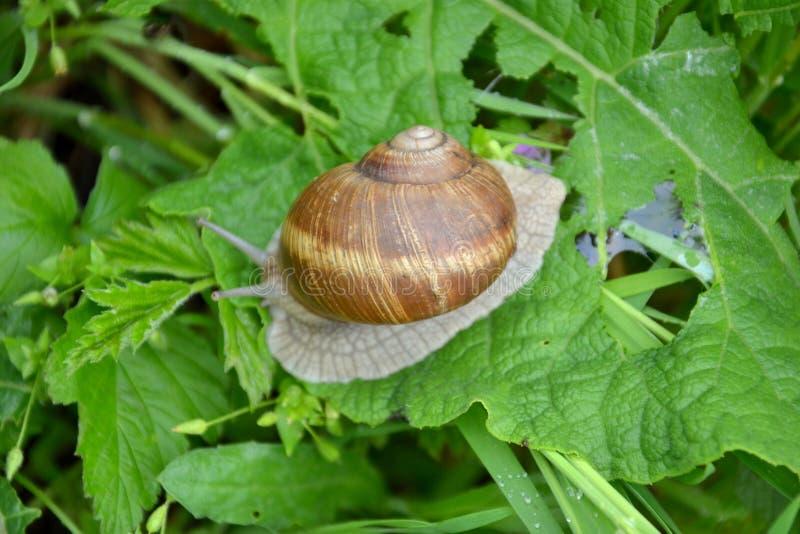 Helix pomatia. Roman or Edible Snail Helix pomatia stock image