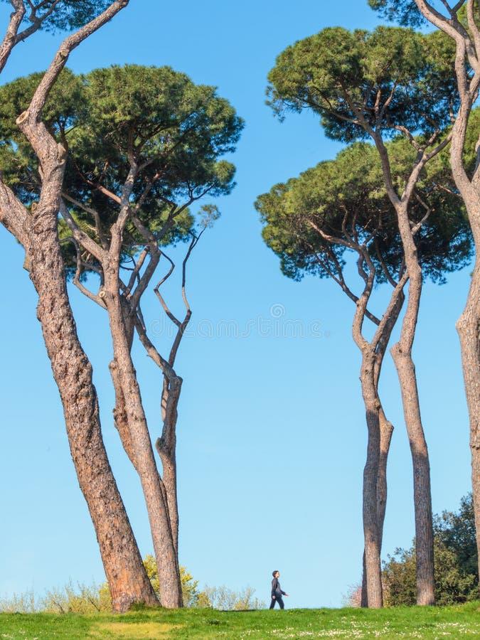 Roman Pine Trees photographie stock libre de droits