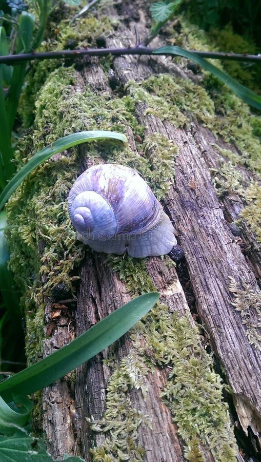 Roman Snail image stock