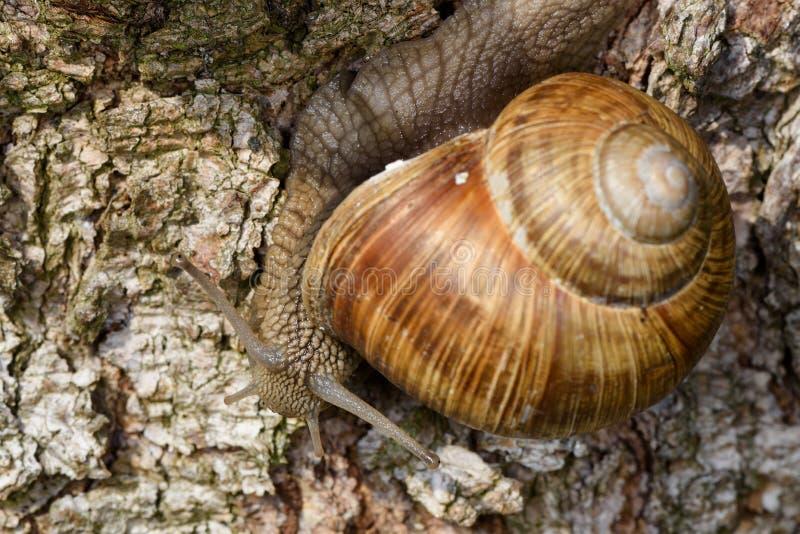 Roman Snail (spiralpomatia, Weinbergschnecke) som kryper ner en trädstam fotografering för bildbyråer