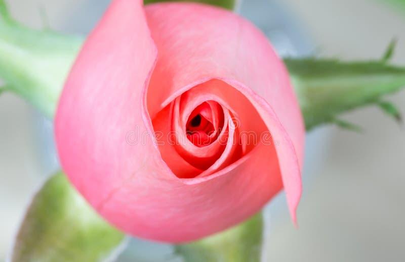 Romance pink rose flower close-up. Beautiful Romance pink rose flower close-up with green petals stock photo
