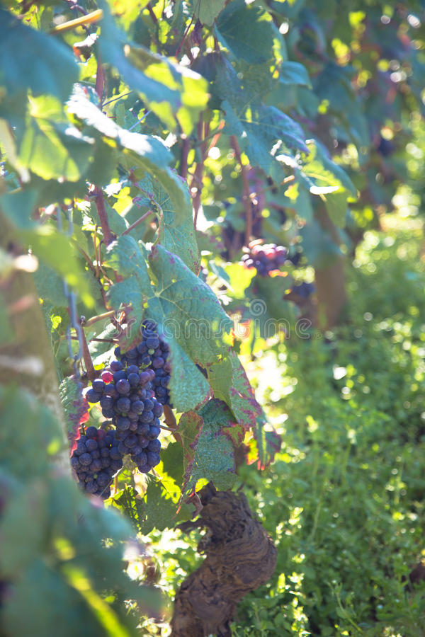 Romanee Conti. Wine grapes in France royalty free stock image