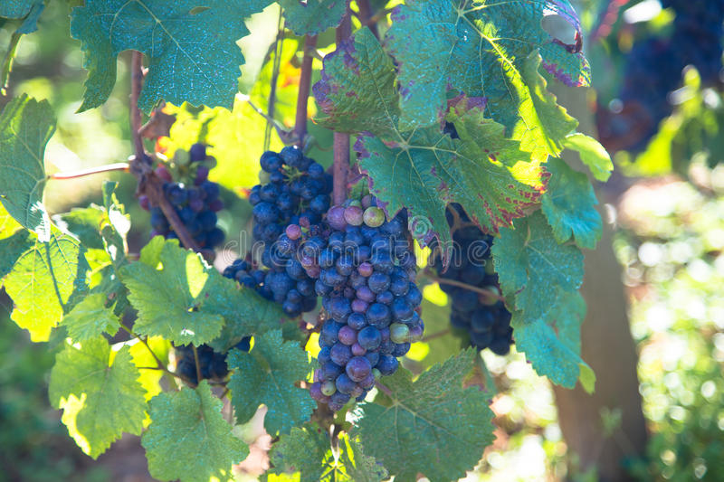 Romanee Conti. Wine grapes in France royalty free stock photo