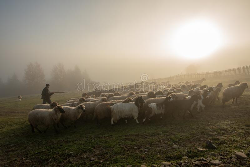 Romania landscape with sheep and goat in autumn time at the farm royalty free stock image