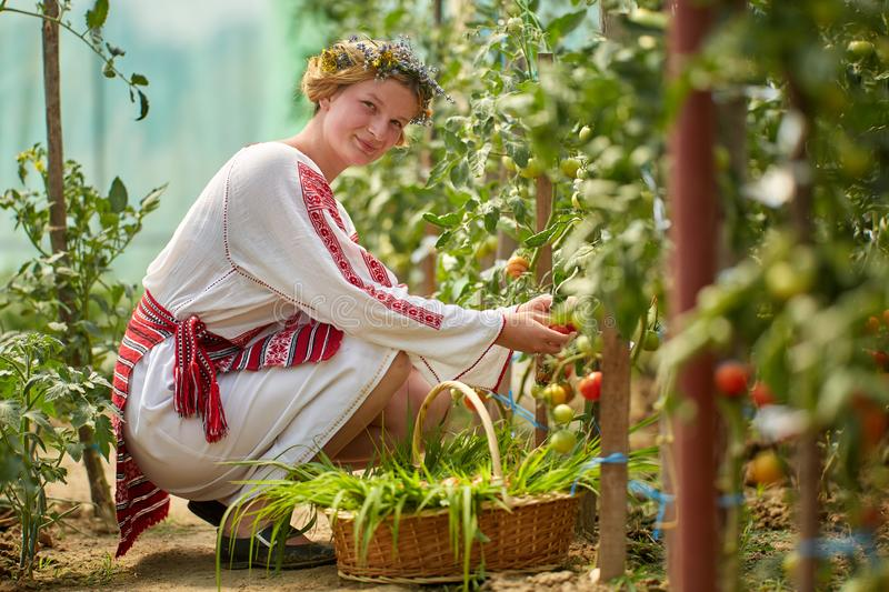 Romanian girl in costume in the hothouse. Romanian girl in traditional costume picking tomatoes in the hothouse royalty free stock photography