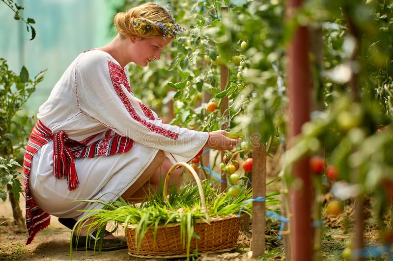 Romanian girl in costume in the hothouse. Romanian girl in traditional costume picking tomatoes in the hothouse royalty free stock image