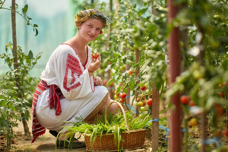 Romanian girl in costume in the hothouse. Romanian girl in traditional costume picking tomatoes in the hothouse stock images