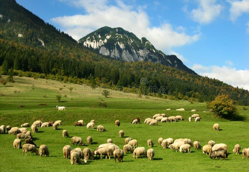 Romanian sheep husbandry, Carpathian mountains royalty free stock photography