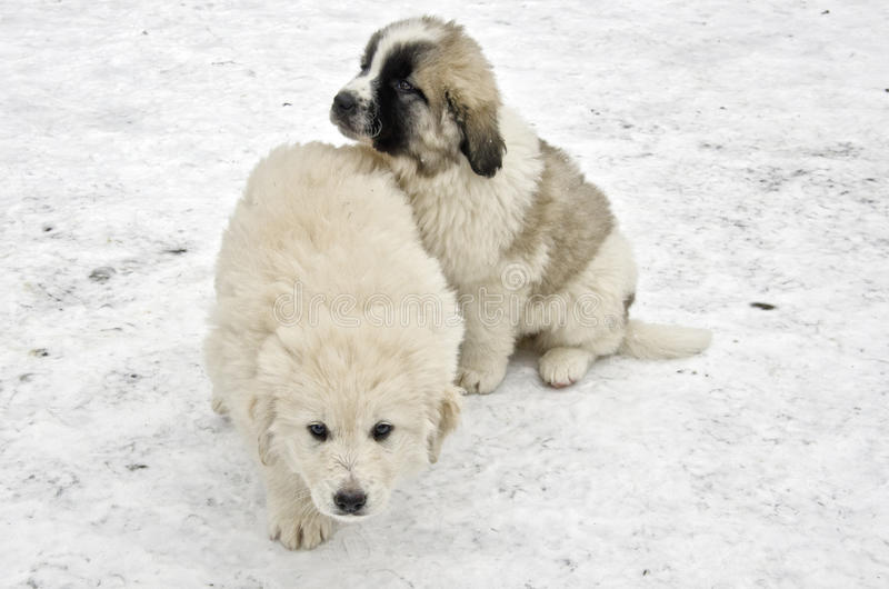 Download Romanian shepherd puppies stock photo. Image of curious - 29073678