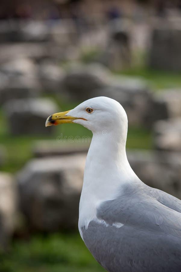 Romano da gaivota in foro fotografia de stock