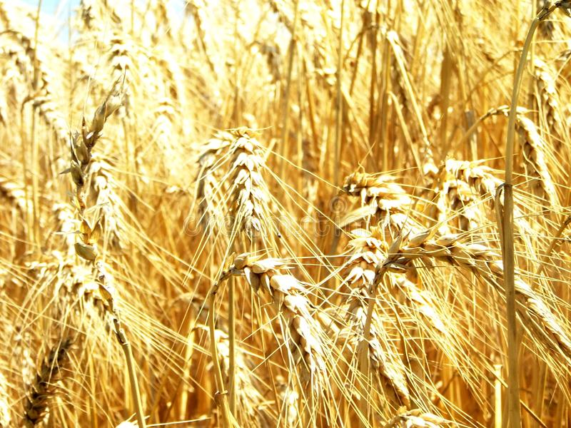 Field of golden wheat - II royalty free stock photography