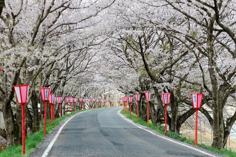 Romantic archway of pink cherry tree (Sakura) blossoms and Japanese style lamp posts along a country road royalty free stock photos
