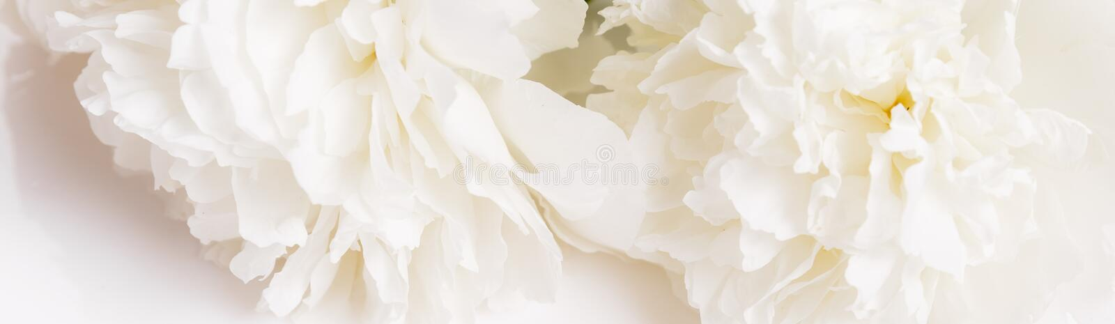 Romantic banner, delicate white peonies flowers close-up. Fragrant pink petals stock photos