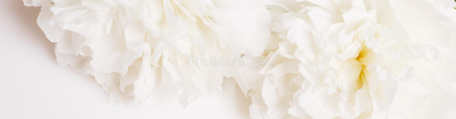 Romantic banner, delicate white peonies flowers close-up. Fragrant pink petals royalty free stock images