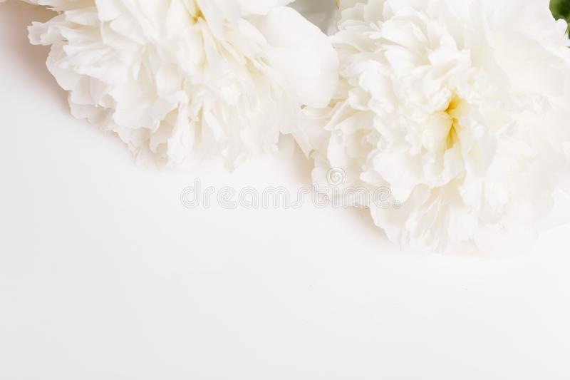 Romantic banner, delicate white peonies flowers close-up. Fragrant pink petals royalty free stock photo