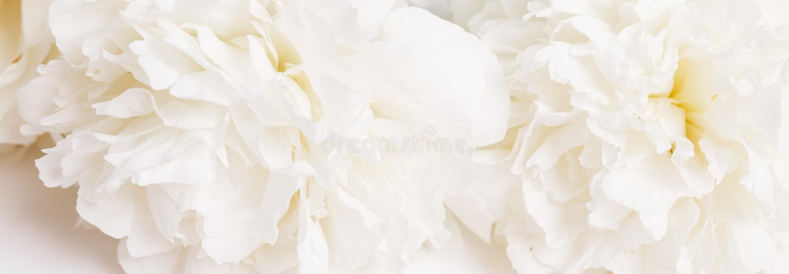 Romantic banner, delicate white peonies flowers close-up. Fragrant pink petals stock image