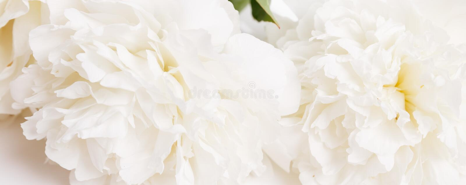Romantic banner, delicate white peonies flowers close-up. Fragrant pink petals stock photo