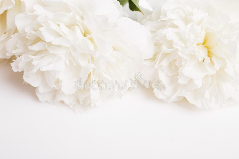 Romantic banner, delicate white peonies flowers close-up. Fragrant pink petals royalty free stock image