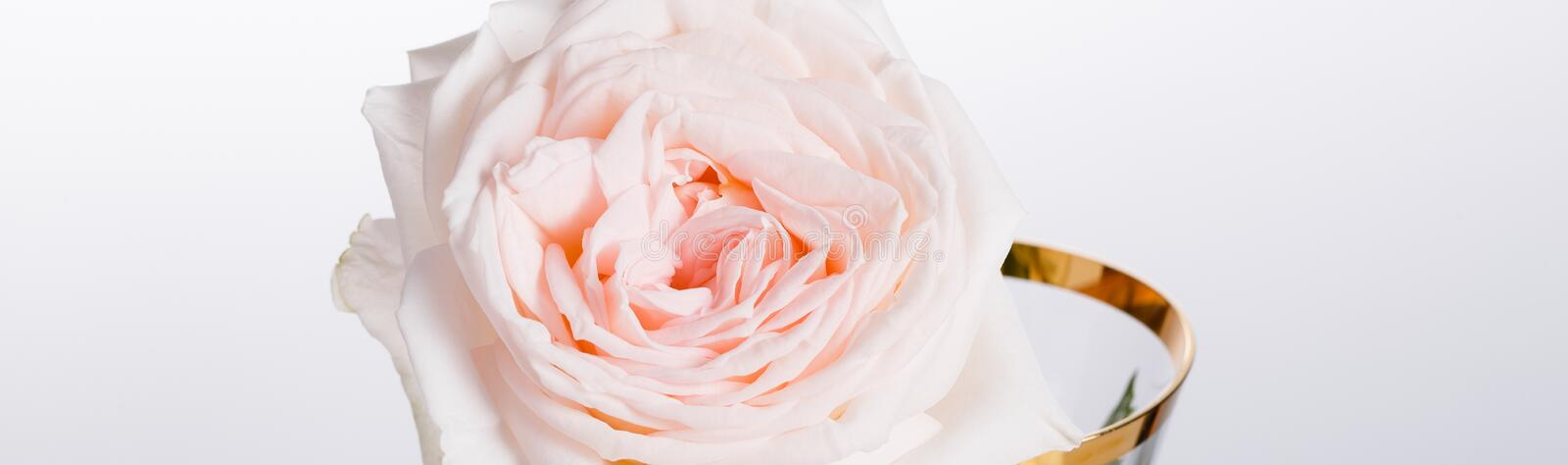 Romantic banner, delicate white peonies flowers close-up. Fragrant pink petals stock images