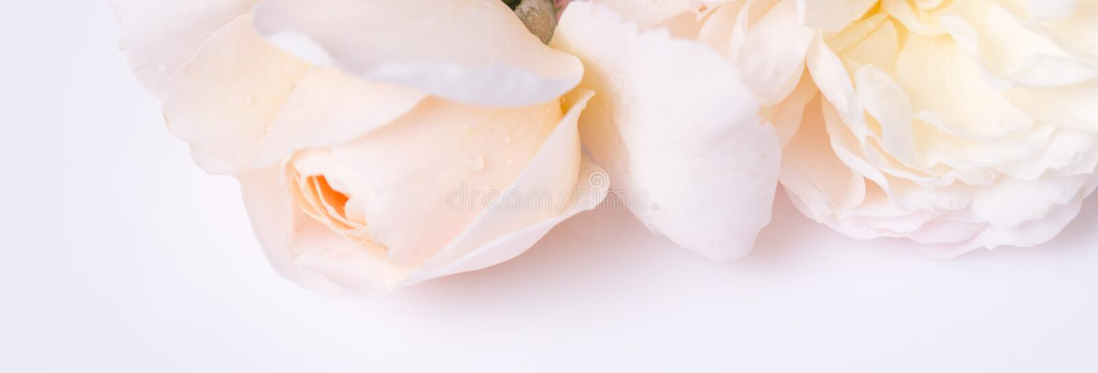 Romantic banner, delicate white roses flowers close-up. Fragrant crem pink petals royalty free stock photos