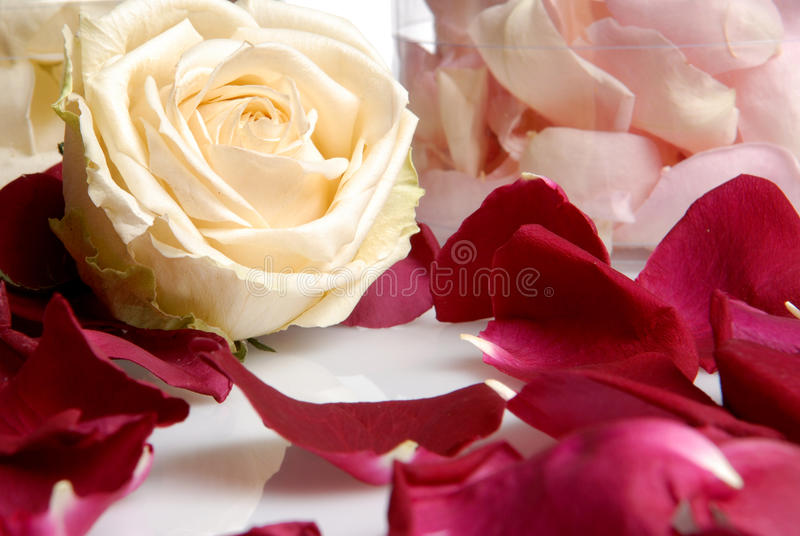 Romantic Beautiful pink and white roses flowers stock photography