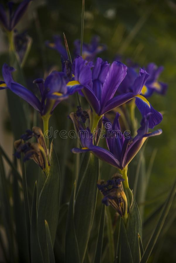 Romantic blue iris withering in the garden. As concept of time expiration stock photo