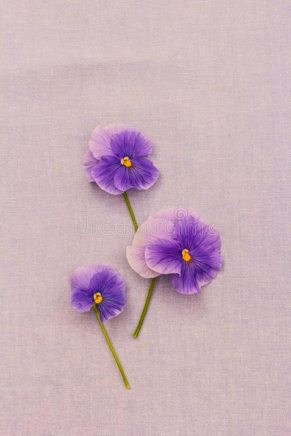 Romantic violet pansies on blue, fabric background royalty free stock images