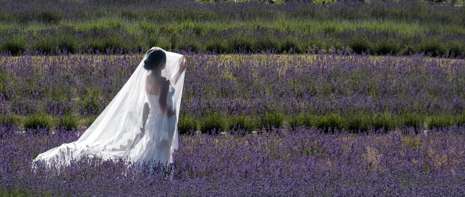 Romantic bride wearing white dress and veil catches the light standing amongst the rows of lavender at Snowshill Lavender, UK royalty free stock image
