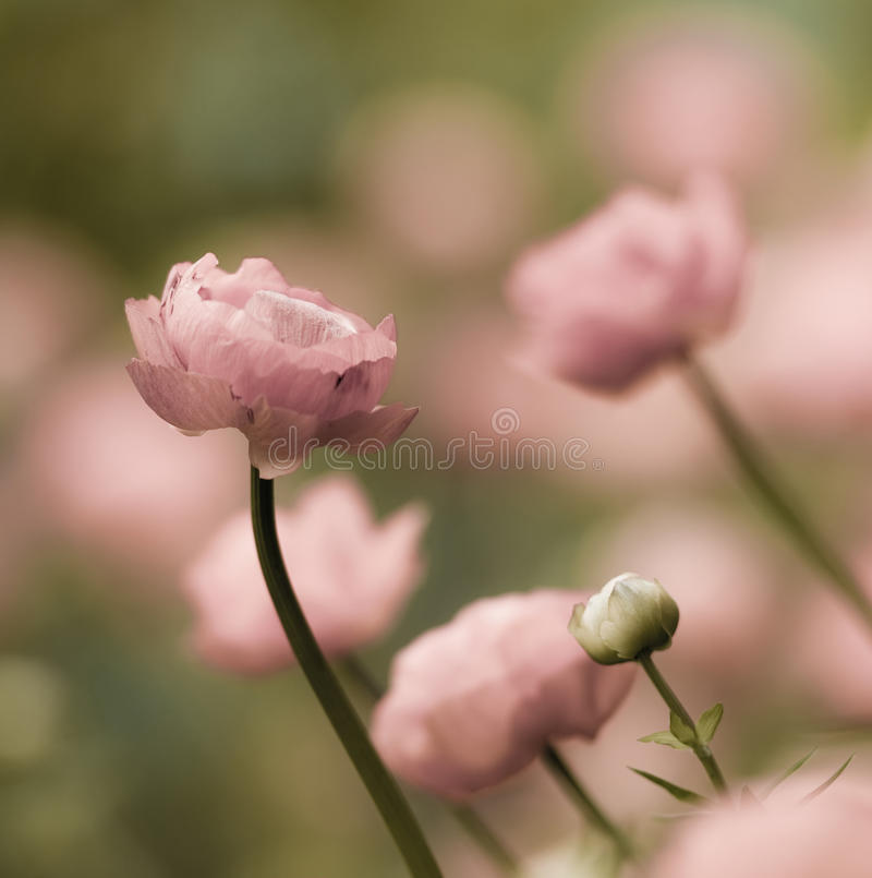 Romantic buttercup flowers. Soft and romantic square picture of pink buttercup flowers. Ranunculus asiaticus. Shallow depth of focus stock photos