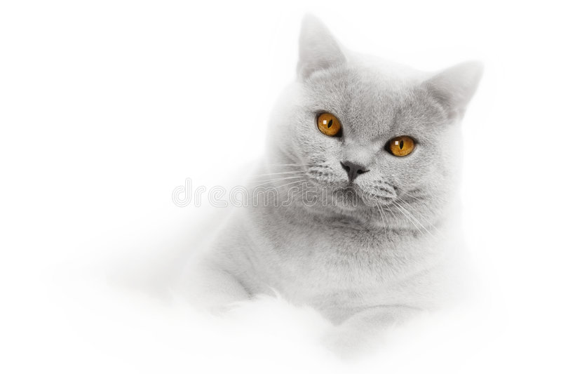 Romantic cat card royalty free stock photography