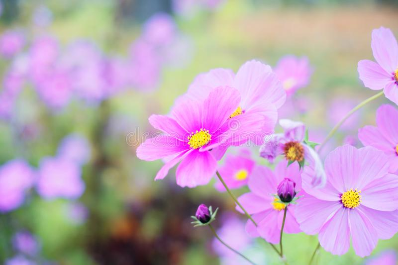 Romantic Cosmos flower pale violet bloom bokeh royalty free stock images