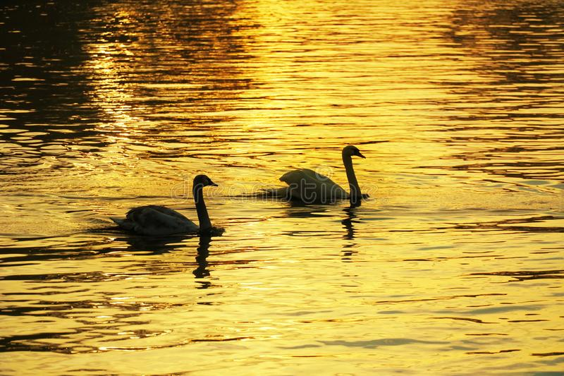 Romantic couple of swan bird wildlife animal in tranquil golden stock photos