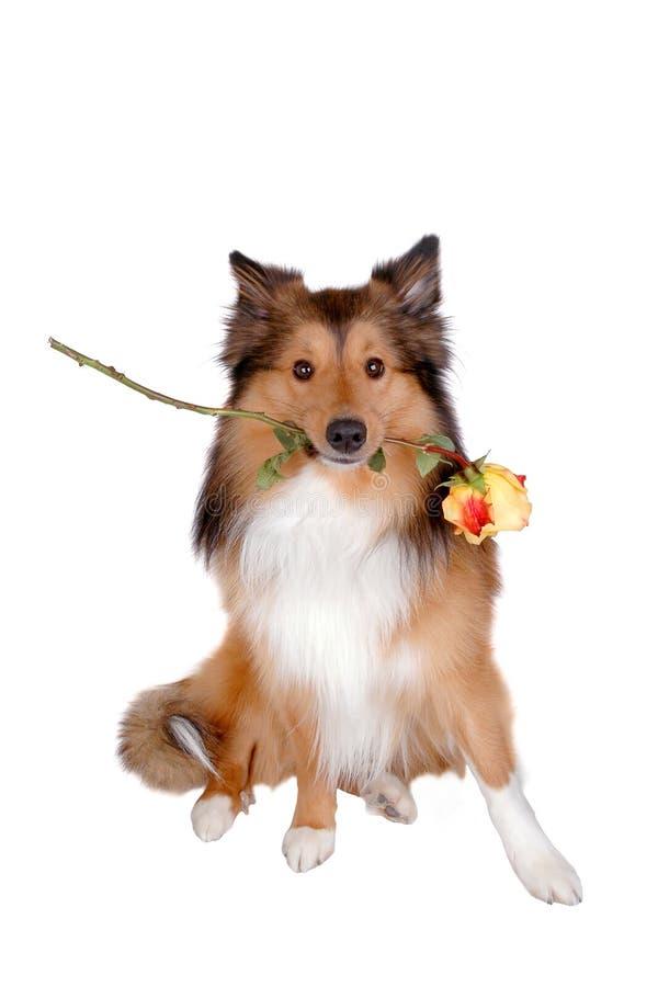Romantic dog 4 stock photo
