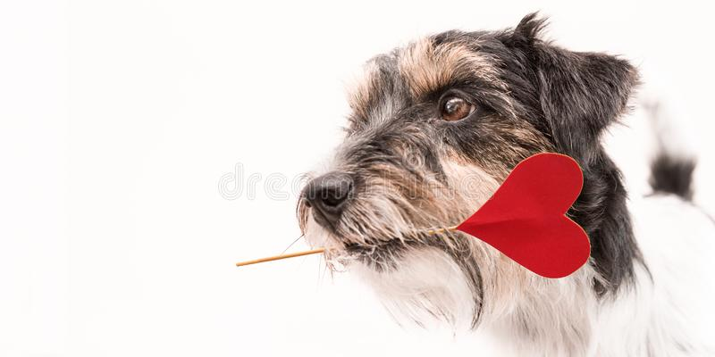 Romantic Dog - little cute Jack Russell Terrier doggy with a heart as a gift for Valentine in the mouth.. Picture isolated on royalty free stock photography
