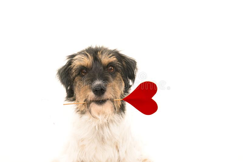 Romantic Dog - little cute Jack Russell Terrier doggy with a heart as a gift for Valentine in the mouth.. Picture isolated on royalty free stock photo