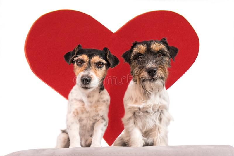 Romantic Dog - Two small cute Jack Russell Terrier dogs with a heart as a gift for Valentine in the mouth.. Picture isolated on royalty free stock photos