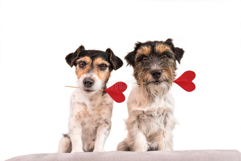 Romantic Dog - Two small cute Jack Russell Terrier dogs with a heart as a gift for Valentine in the mouth.. Picture isolated on stock image
