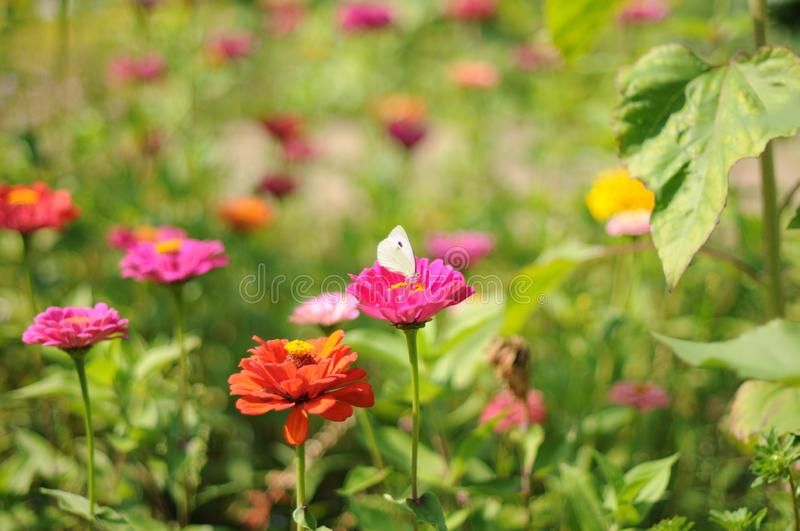 A romantic, dreamy summer meadow with flowers in pink and orange with a white butterfly in focus royalty free stock image